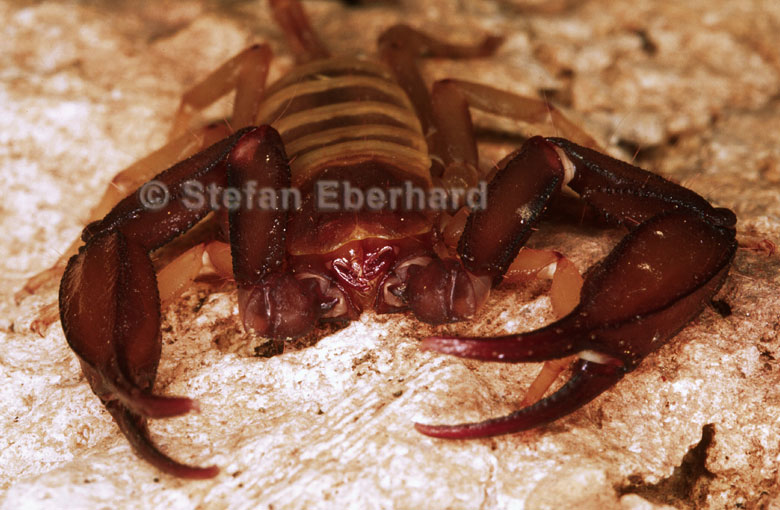 Blind scorpion, Liocheles polisorum, Christmas Island
